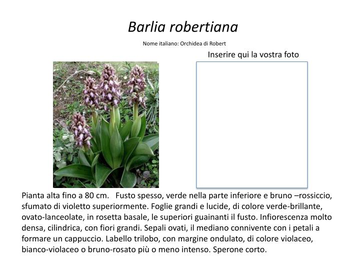 Barlia robertiana