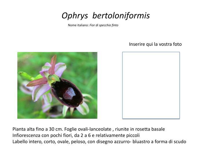 Ophrys  bertoloniformis