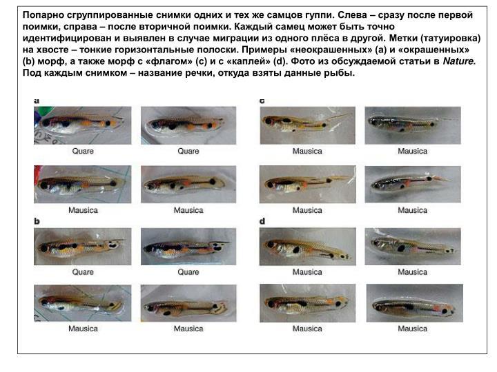 Попарно сгруппированные снимки одних и тех же самцов гуппи. Слева – сразу после первой поимки, справа – после вторичной поимки. Каждый самец может быть точно идентифицирован и выявлен в случае миграции из одного плёса в другой. Метки (татуировка) на хвосте – тонкие горизонтальные полоски. Примеры «неокрашенных» (a) и «окрашенных» (b) морф, а также морф с «флагом» (c) и с «каплей» (d). Фото из обсуждаемой статьи в