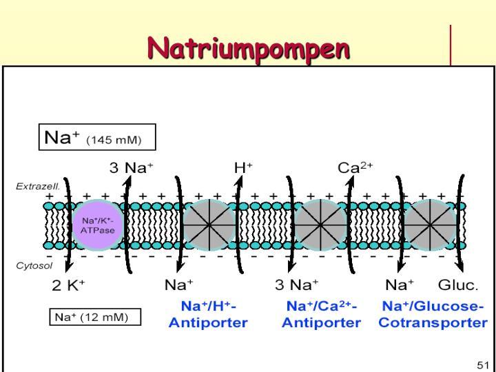 Natriumpompen