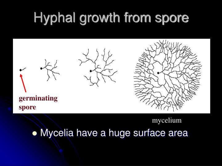Mycelia have a huge surface area
