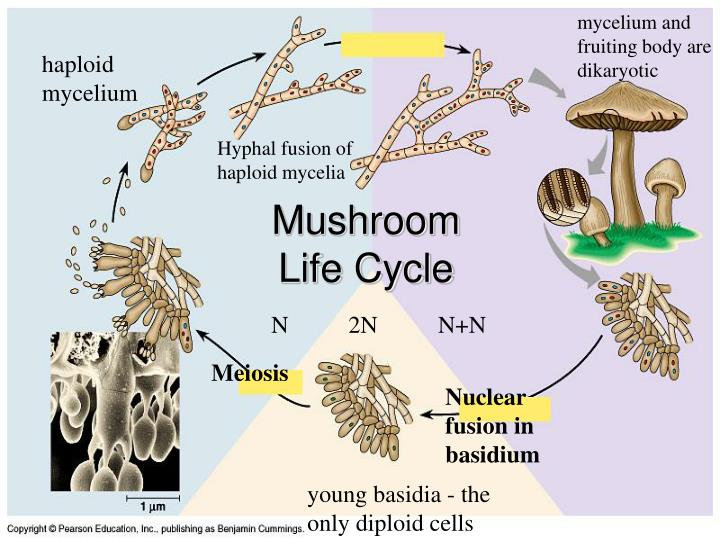 mycelium and fruiting body are dikaryotic