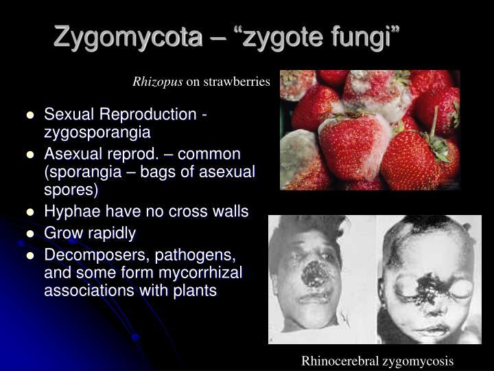 """Zygomycota – """"zygote fungi"""""""