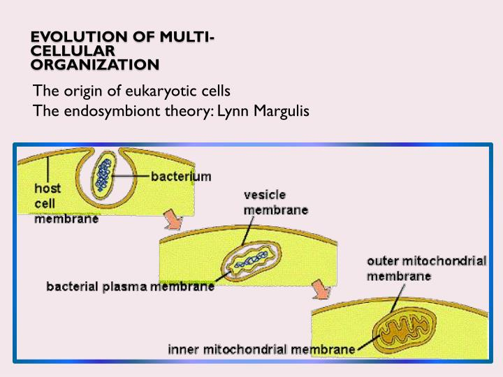 Evolution of multi-cellular organization