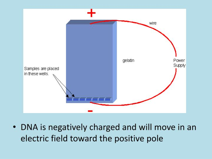 DNA is negatively charged and will move in an electric field toward the positive pole