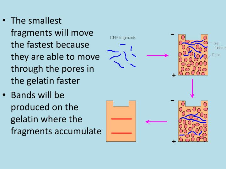 The smallest fragments will move the fastest because they are able to move through the pores in the gelatin faster