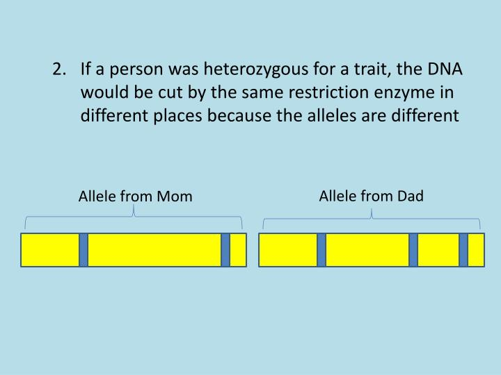 If a person was heterozygous for a trait, the DNA would be cut by the same restriction enzyme in different places because the alleles are different