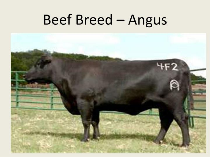Beef Breed – Angus