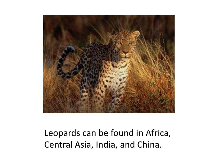 Leopards can be found in Africa, Central Asia, India, and China.
