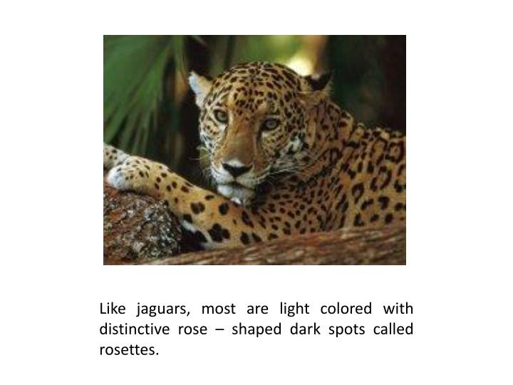Like jaguars, most are light colored with distinctive rose – shaped dark spots called rosettes.