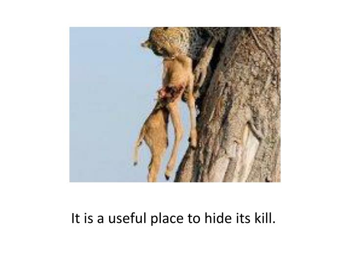 It is a useful place to hide its kill.