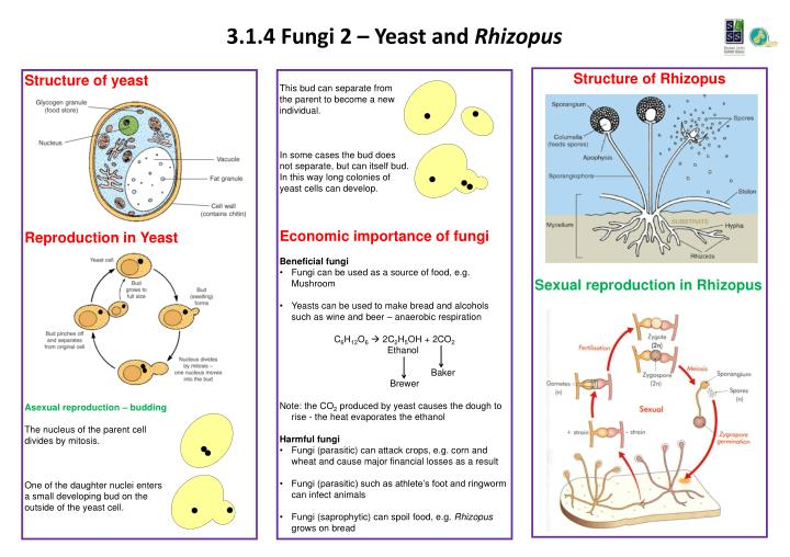 3 1 4 fungi 2 yeast and rhizopus