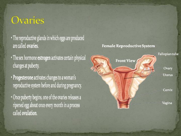 Ovaries