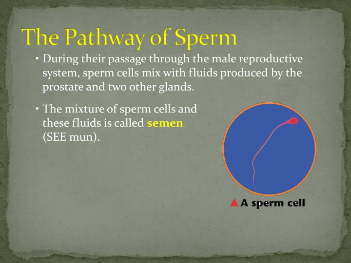 The Pathway of Sperm