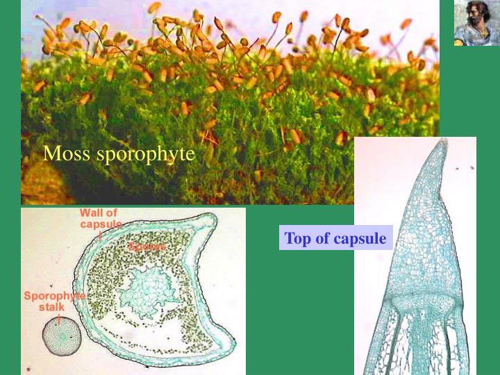 Moss sporophyte