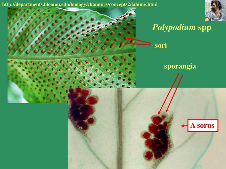 Sporangia