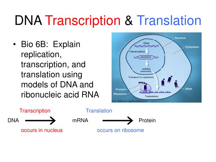 Dna transcription translation
