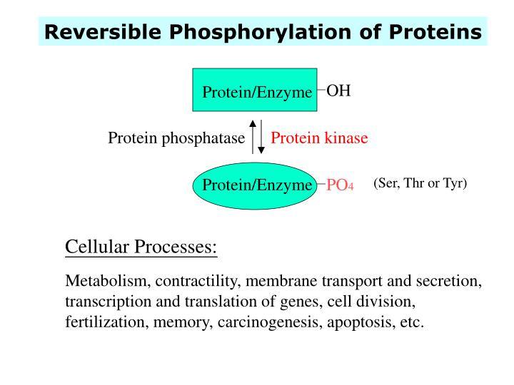 Reversible Phosphorylation of Proteins