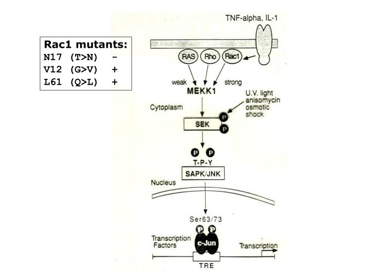 Rac1 mutants: