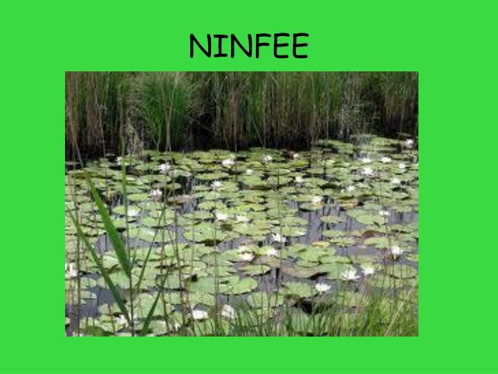 NINFEE