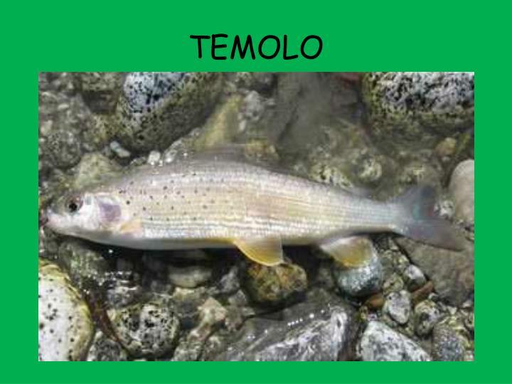 TEMOLO