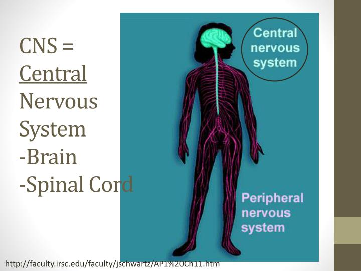 Cns central nervous system brain spinal cord