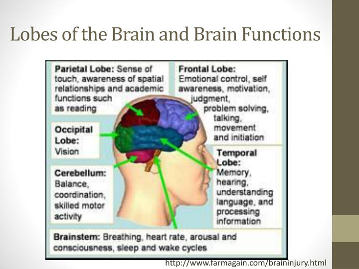 Lobes of the Brain and Brain Functions