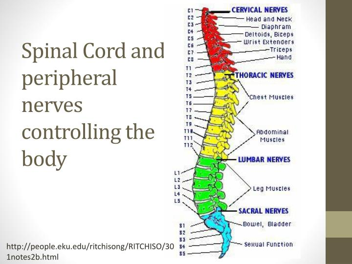 Spinal Cord and peripheral nerves controlling the body