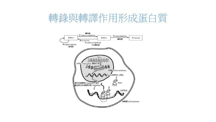 轉錄與轉譯作用形成蛋白質