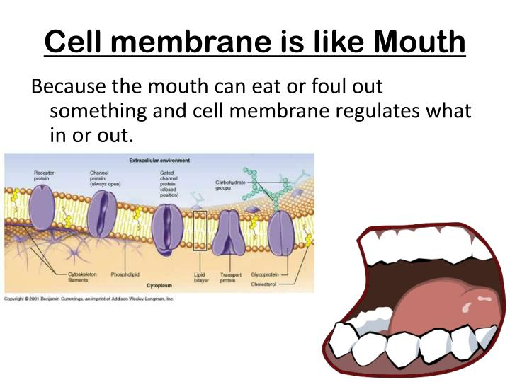 Cell membrane is like Mouth