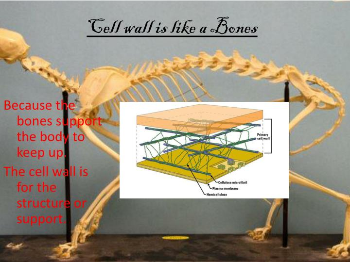 Cell wall is like a Bones