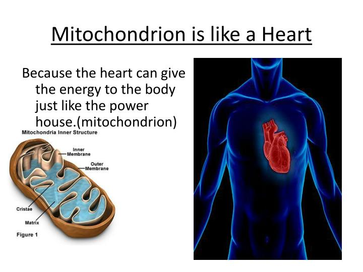 Mitochondrion is like a Heart
