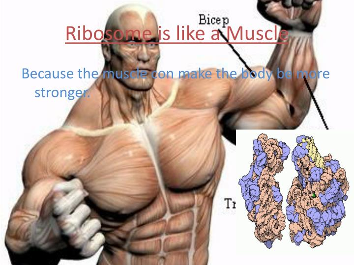 Ribosome is like a Muscle