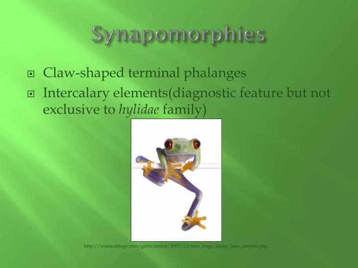 Synapomorphies