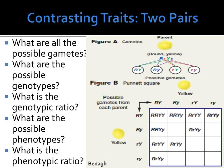 Contrasting Traits: Two Pairs