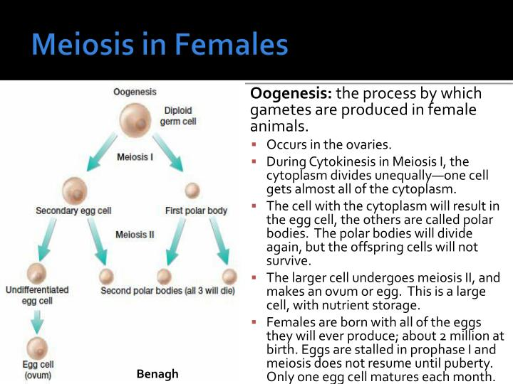 Meiosis in Females