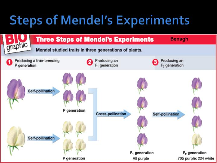 Steps of Mendel's Experiments