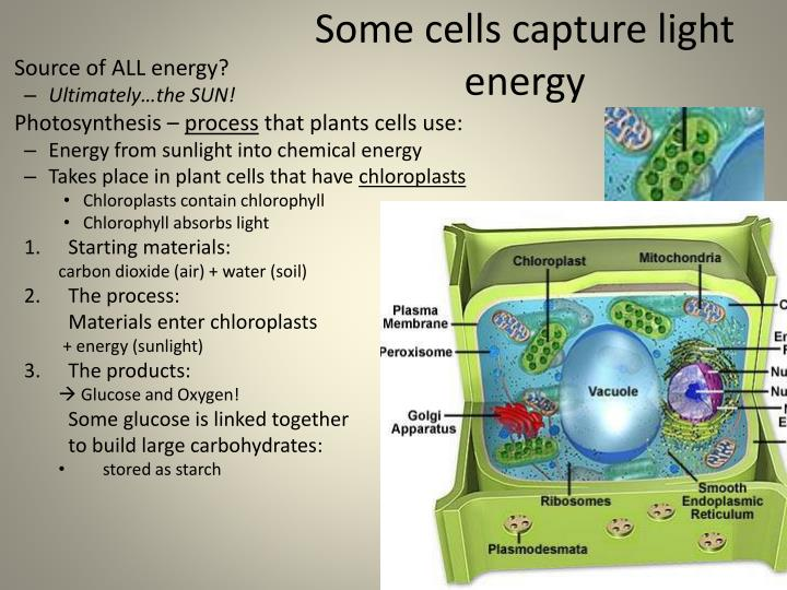 Some cells capture light energy