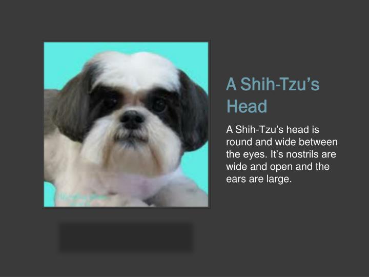 A Shih-Tzu's Head