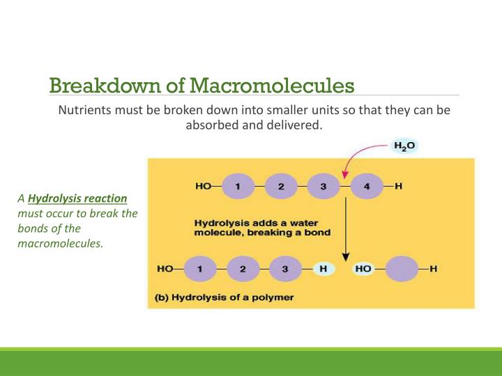 Breakdown of Macromolecules