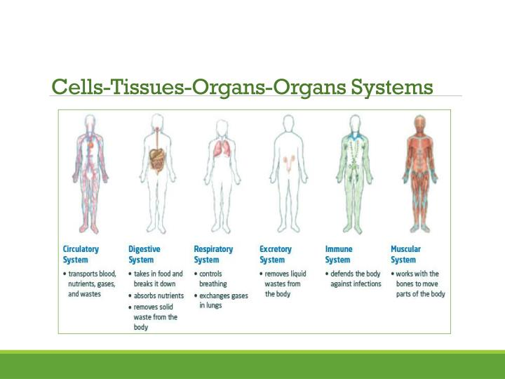 Cells-Tissues-Organs-Organs Systems