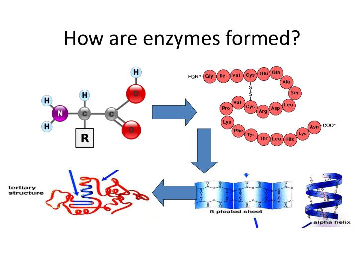How are enzymes formed?