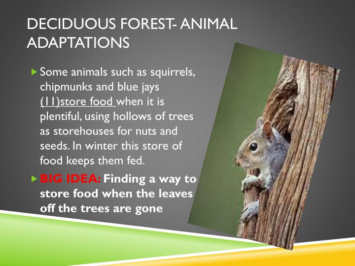 Deciduous forest- animal adaptations