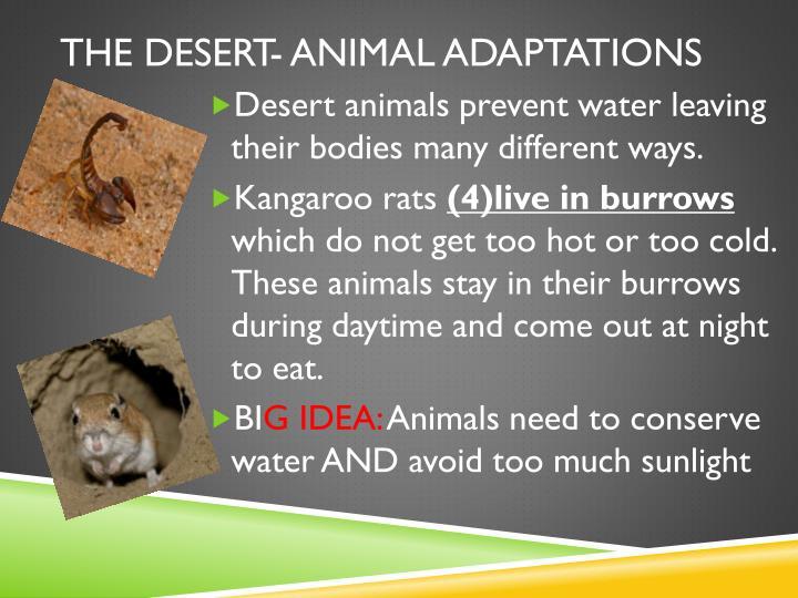 The desert- animal adaptations