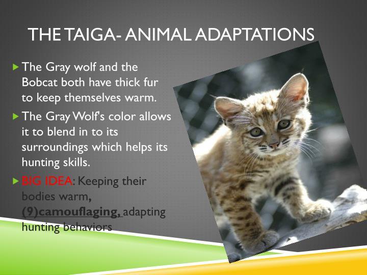 The taiga- animal adaptations