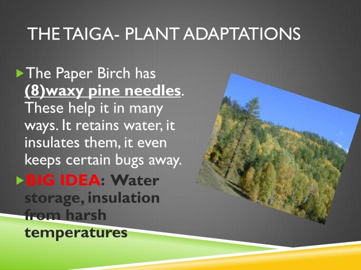 The taiga- plant adaptations