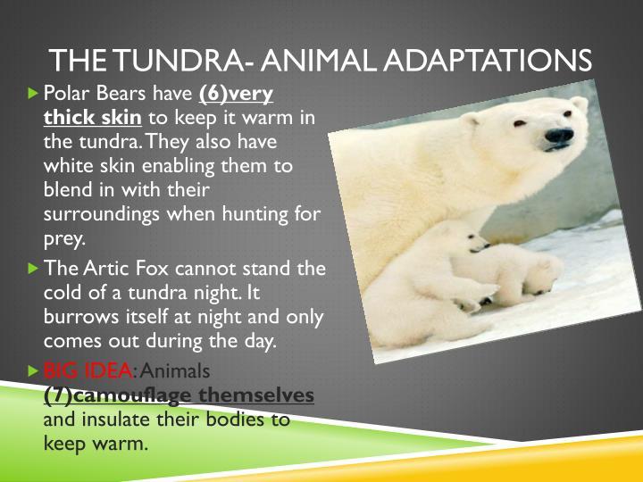 The tundra- animal adaptations