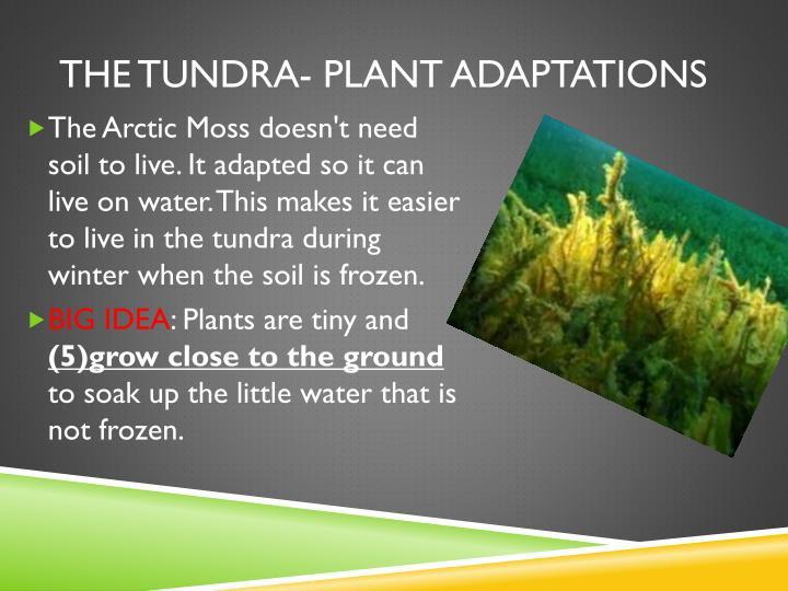 The tundra- plant adaptations