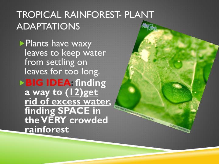 Tropical rainforest- plant adaptations