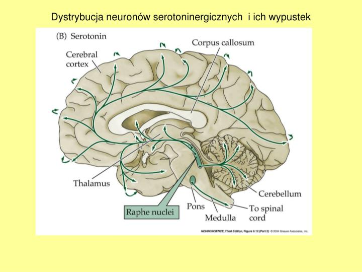 Dystrybucja neuronw serotoninergicznych  i ich wypustek